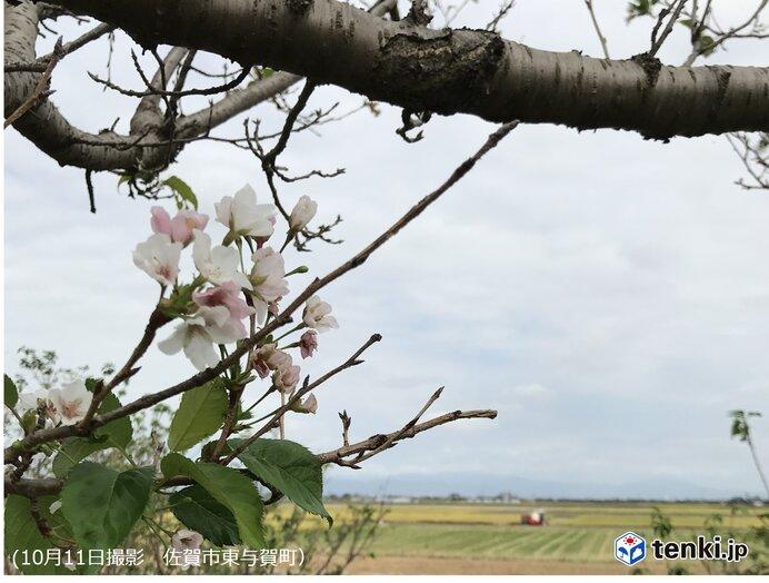 佐賀 稲刈りシーズンに桜咲く