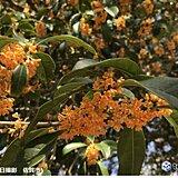 九州 キンモクセイ香る 週末はさらに季節が進む
