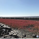 佐賀 海の紅葉シチメンソウ色づく