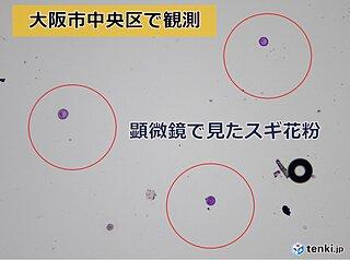 大阪でスギ花粉本格飛散開始 今週末は大量飛散の所も