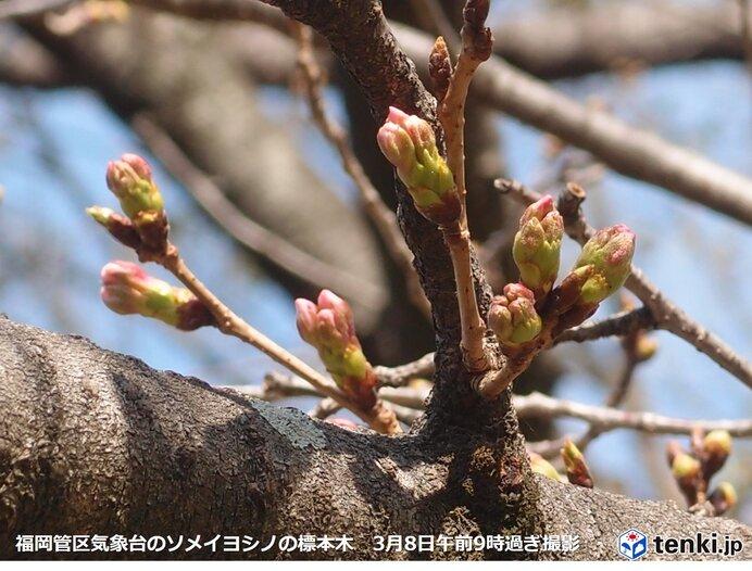 九州 今週暖かさ続き、早くも桜の季節到来へ