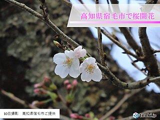 10日に高知県宿毛市で桜が開花しました