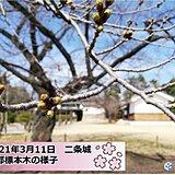 京都もつぼみふくらむ 関西各地今年は桜の開花が早い!
