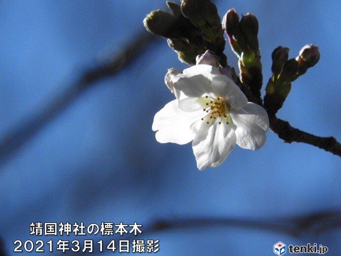 平年より早い桜の季節へ