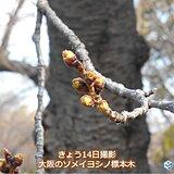 関西 今週はいよいよ桜開花の所も
