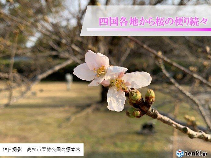 高松で観測史上最早で桜開花! 高知・松山でも記録的に早い開花に
