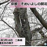 京都で桜咲く 週末の雨は催花雨となるか