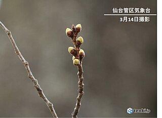 東北でも早い開花記録を更新か 桜開花予想