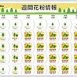 スギ・ヒノキ花粉の終了時期はいつ? まだ非常に多く飛ぶがヒノキのピークもあと少し