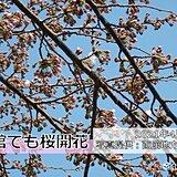 函館で史上2番目の早さでサクラ開花