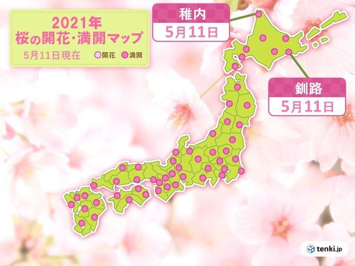 稚内と釧路では桜が満開に
