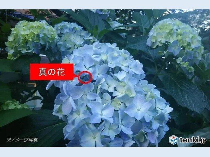 アジサイ(真の花)開花