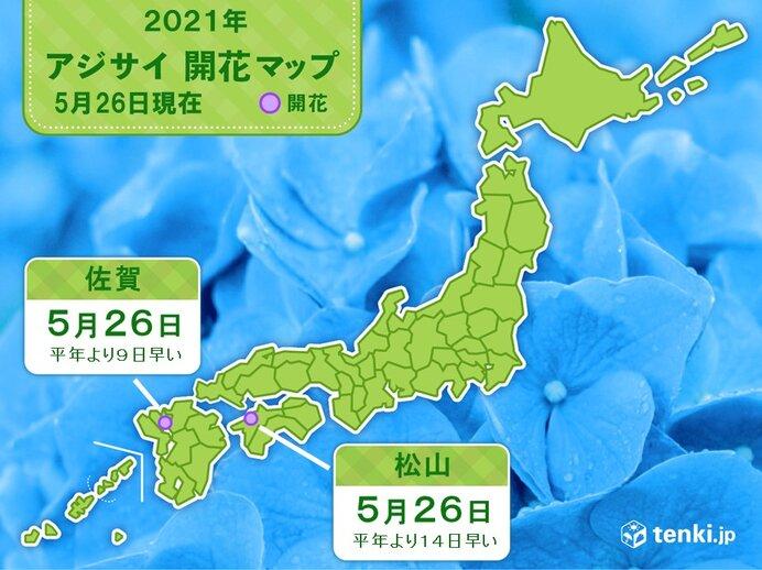 松山と佐賀であじさい開花 平年より1~2週間早く