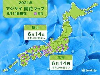 福井と彦根 アジサイ開花 共に平年より早く