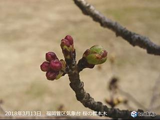 福岡 桜のつぼみ膨らむ