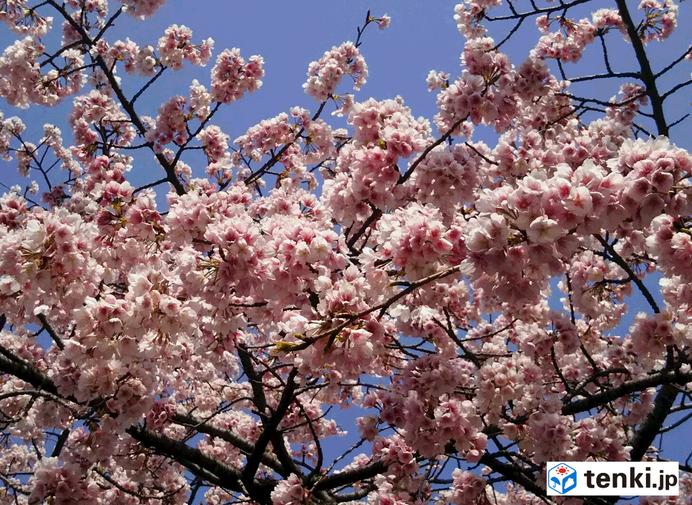 都心 桜開花近づく つぼみがピンクに_画像