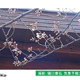 東京都心 桜(ソメイヨシノ)開花間近