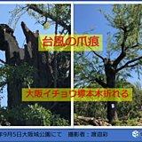 大阪イチョウ標本木折れる