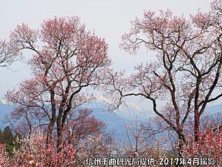 日本一のあんずの里 あすにも開花か