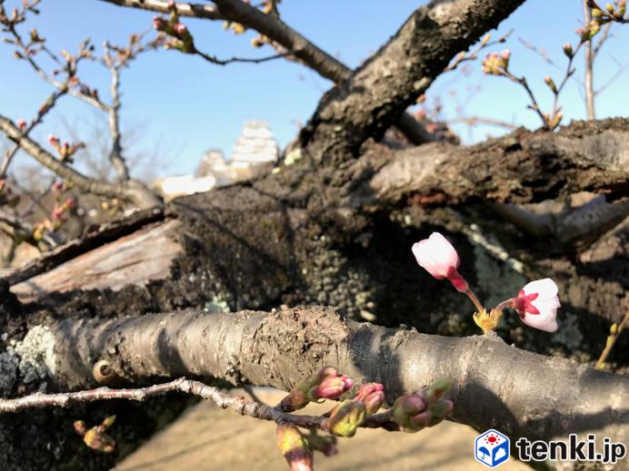 桜のたより続々と