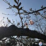近畿地方の桜 続々開花