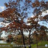 北海道 全国初のかえで紅葉