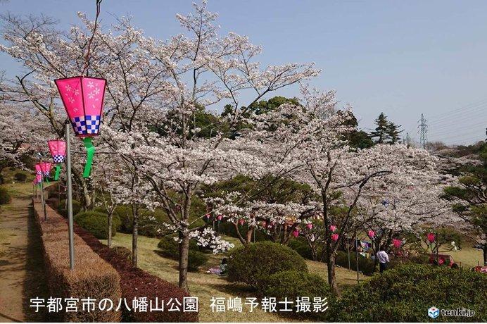 北関東の桜 開花から3日で満開!
