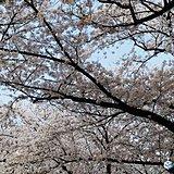 近畿 桜満開 ラグビーの聖地でも見ごろ