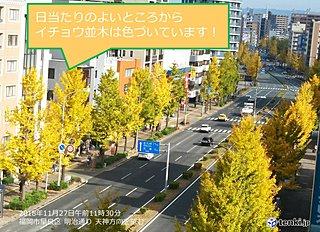 イチョウ並木色づく 福岡