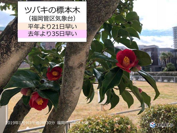 ツバキ開花 福岡・熊本