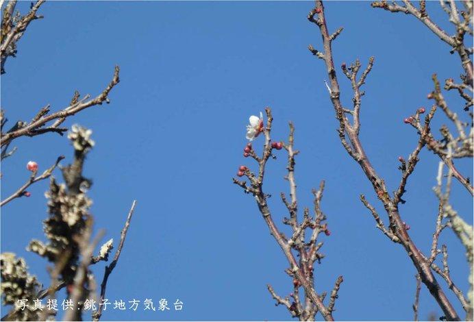関東で早春の便り 銚子で梅開花