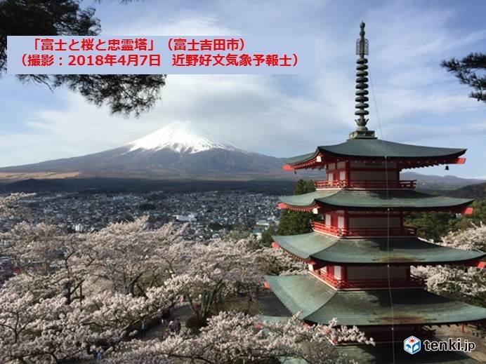 富士吉田の桜 見ごろ