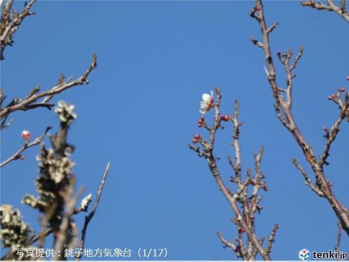 ほころぶ梅 開花前線は急ぎ足