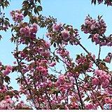 福岡 ソメイヨシノから八重桜へ
