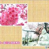 那覇で桜が満開 都内でも見頃の桜が