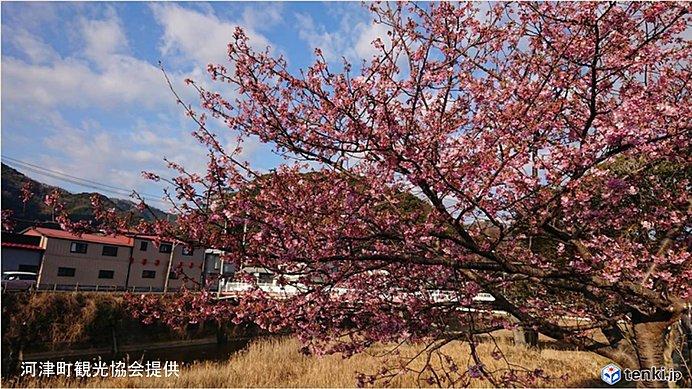 今週は季節が加速 河津桜も見ごろに