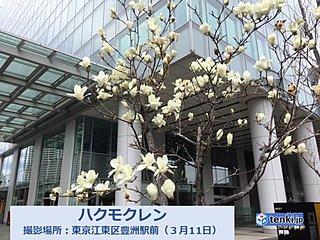 東京 サクラの露払いハクモクレン咲く