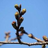 3月17日 靖国神社の桜の様子