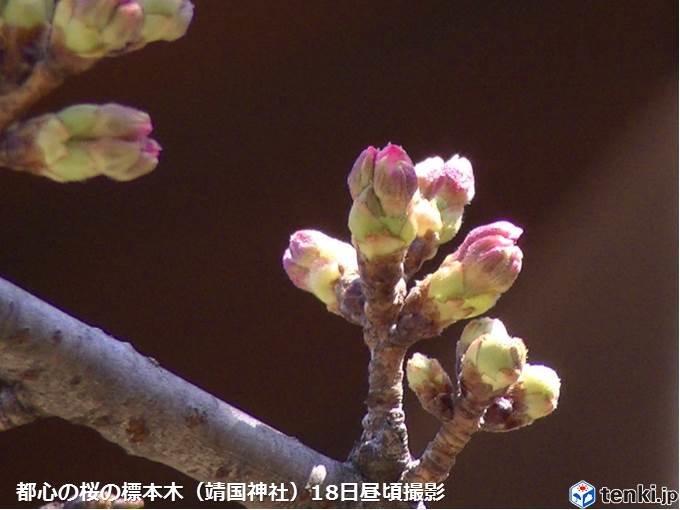 都心の桜 つぼみ先端のピンクが目立つように