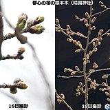 関東 桜の蕾ふくらむ陽気 北は今年一番の暖かさ