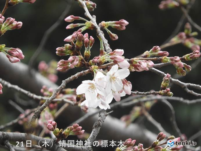 東京都心で桜が開花 福岡からも桜の便り