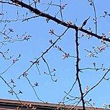 関東 5月並みの陽気 都心の桜 数輪咲く