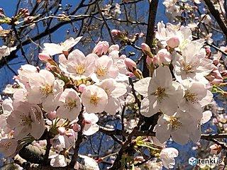 東京で桜が満開に 全国トップ