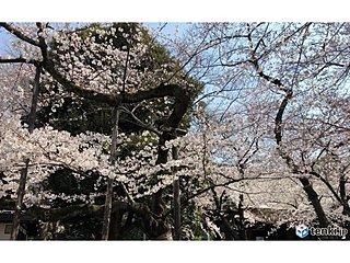 平成最後の桜続々と 東京は満開