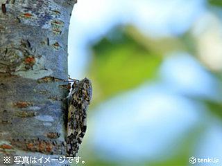 宮古島 ニイニイゼミ鳴く 3月は21年ぶり