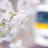 年度変わりも春の便り次々と 見頃はどこ?