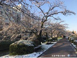 富山で4月としては13年ぶりの積雪 桜に雪も