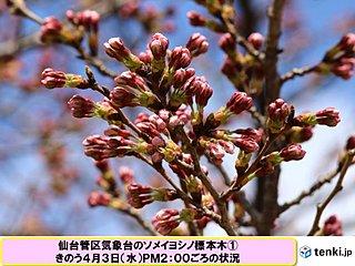 仙台市 暖かな陽気で桜の花ほころぶ?