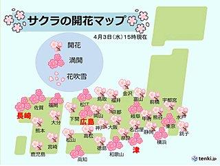 トップ開花の長崎の桜 ようやく満開