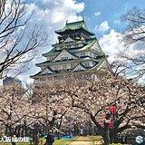 大阪と名古屋で桜が満開に 週末はお花見日和